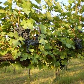 uva-grappoli-rossa