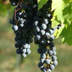 uva-grappolo-rossa