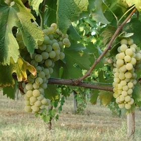 uva-grappoli-bianca
